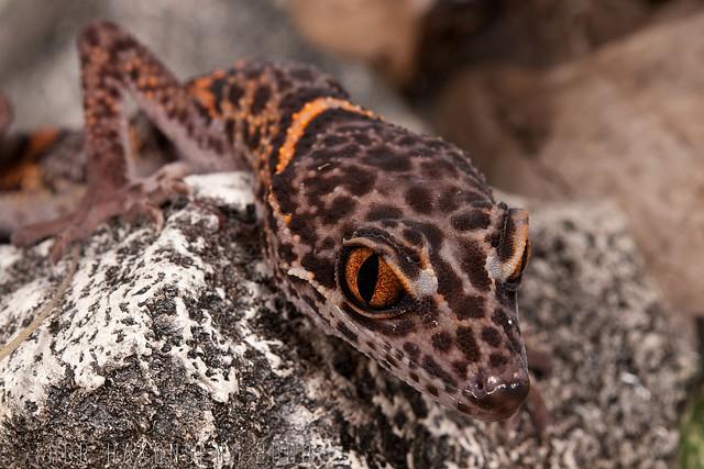 Goniurosaurus luii - Chinese Tiger gecko