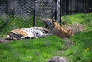 Siberian Tigers (Panthera tigris altaica) | by cetaylor