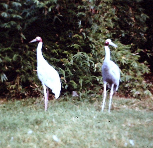 1976-12 Cranes, Treasure Island, Disney World 167