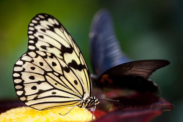 Butterfly Palace 5909