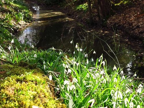 Snowdrops at Myddelton House Gardens | by Laura Nolte