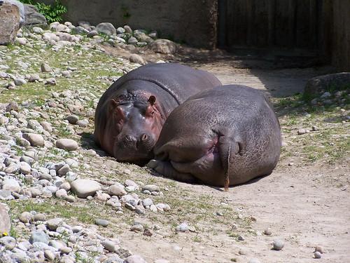 Lazy hippos | by cetaylor