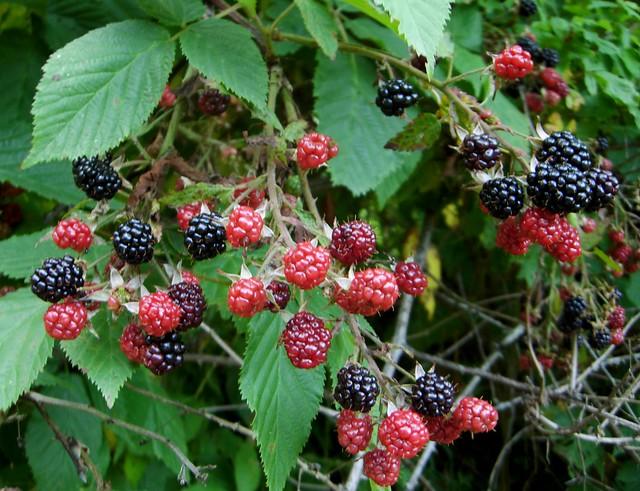 Blackberry bush, heavily laden.