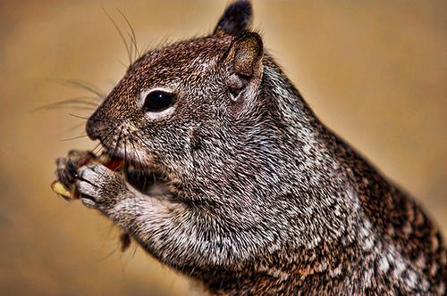california ca usa canon us squirrel unitedstates unitedstatesofamerica lajolla canonef70200mmf28lusm canon450d canoneos450d canondigitalrebelxsi musicsbest flickrunitedaward trolledproud