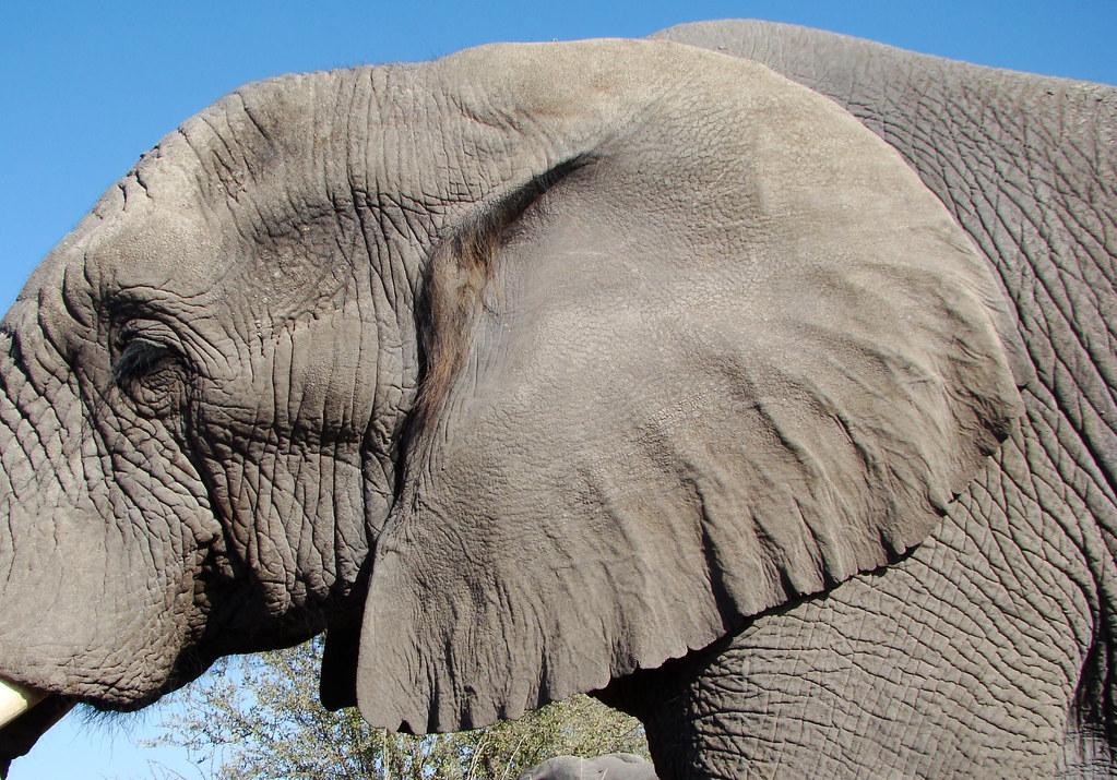 Dsc08058 Elephant Ear Blogged Here Godutchbaby Blogspot C Flickr