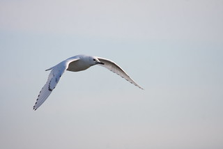 Ivory Gull | by Birding In New Jersey
