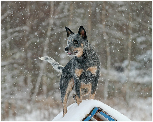 091219_Caisa loves snow 1   by Karedogs