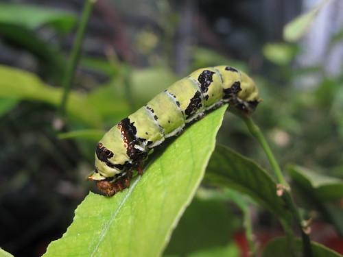 Caterpillar   by Kitchenbutterfly