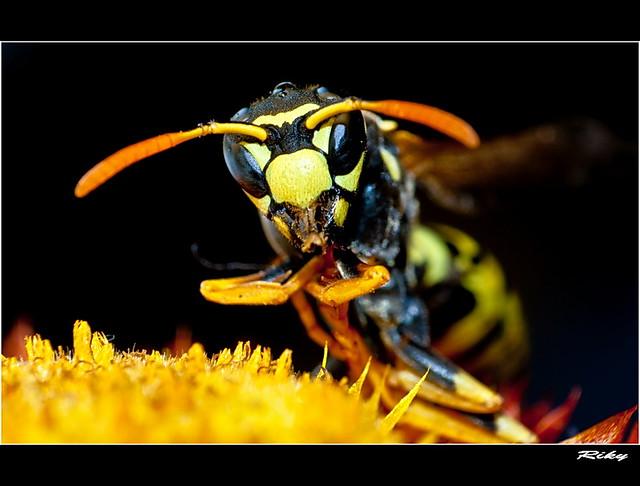 Avispa- Wasp