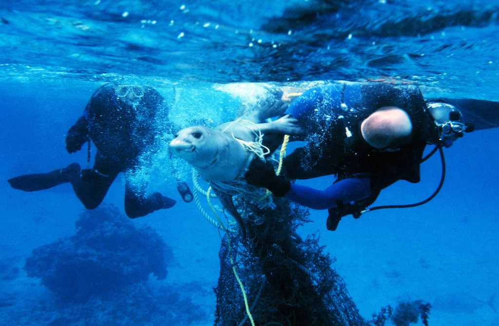 Freedom from Marine Debris | Divers free a seal from fishing