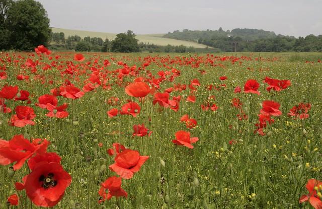 Poppyfield - Kent