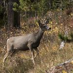 Mule Deer (buck)