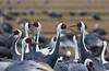 White-naped Crane Grus vipio, Arasaki by Allan Drewitt