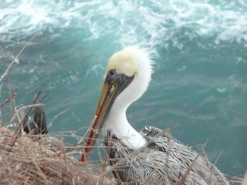 2009.264 . Brown Pelican | by pipilo