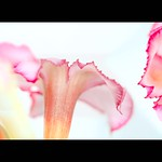 _MG_3190   pink flr vvvvvg