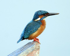 Common Kingfisher (Alcedo atthis taprobana) - Male