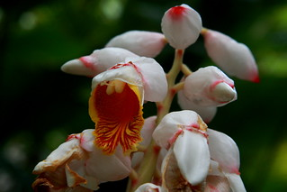 Shell Ginger | by Frank Peters