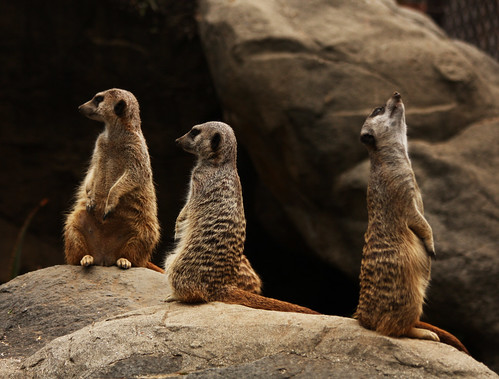 Photograph of a Meerkat Family | by Rennett Stowe