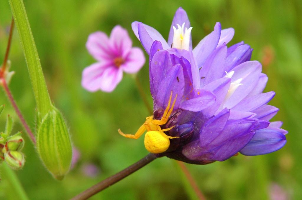 Yellow flower crab spider on Blue Dick, Mt Diablo - Castle ...