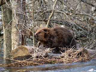 Beaver - Parnu and Soomaa National Park, Estonia | by whl.travel