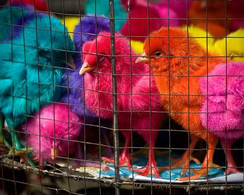 chicken birds animals fun george chick mateo gregorio cages coloredchicks thehousekeeper flickristasindios litratistakami georgemateo gcmateo