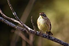 Viera Warbler