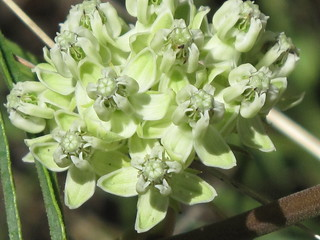 Narrow-leaved milkweed | by CAJC: in the PNW