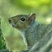 Flickr photo 'Shattuck_N2-18614-1, Gray Squirrel, Beaverton, OR, USA' by: S O Shattuck.