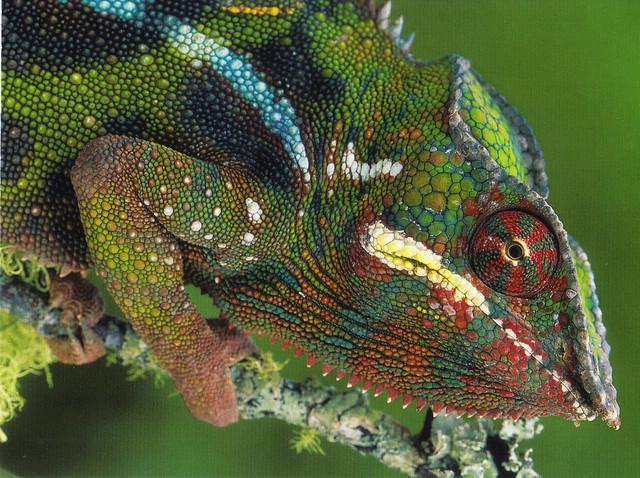 Panther Chameleon Postcard