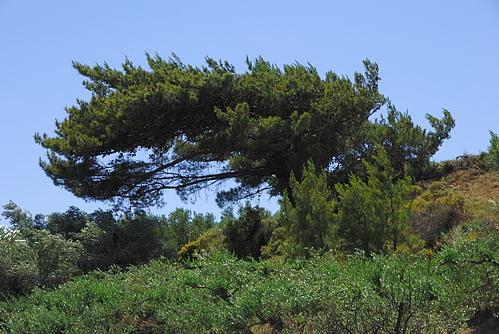 Chrysopigi - Umland - Baumgestalt
