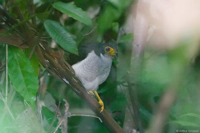 Micrastur gilvicollis - Lined Forest-falcon