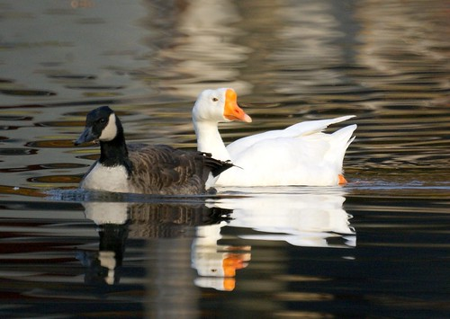 Whitey and a Canada Goose | by Mike's Birds
