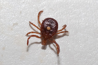 Lone Star Tick, Paynetown SRA, Monroe County IN | by b_nicodemus