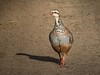 Red legged partridge by Peter Maguire