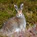 May 09 Mountain Hare (Lepus timidus)