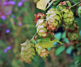 Hops | by Dun.can