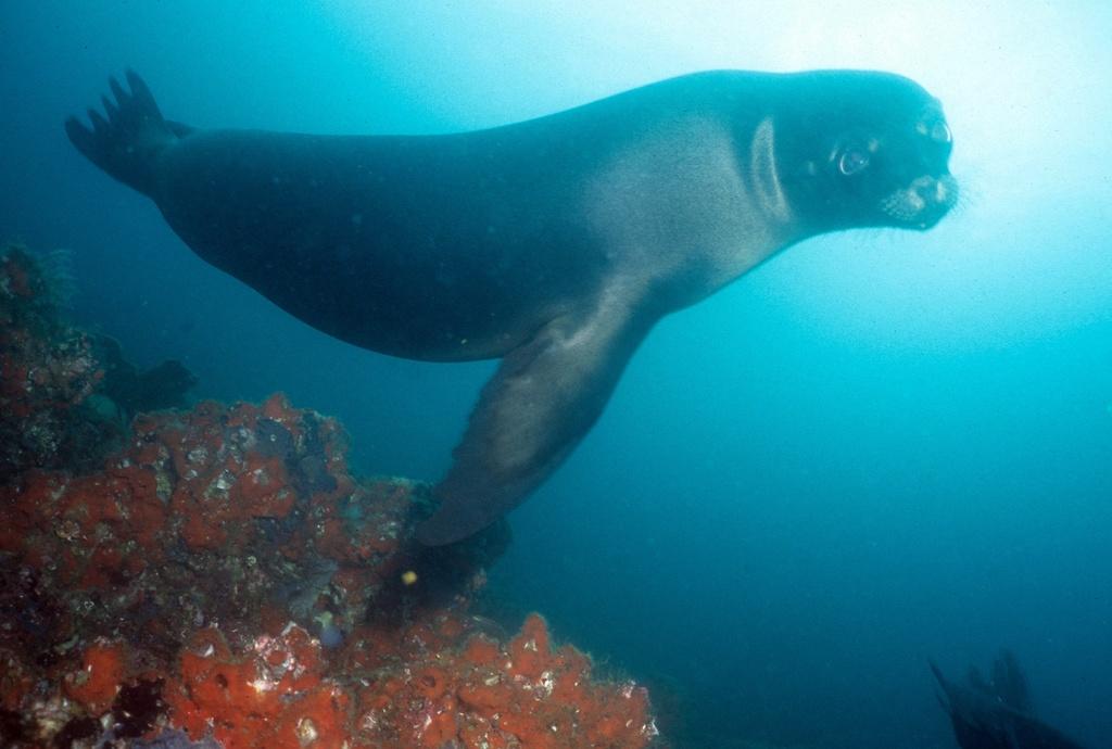 Galápagos sea lion: under water