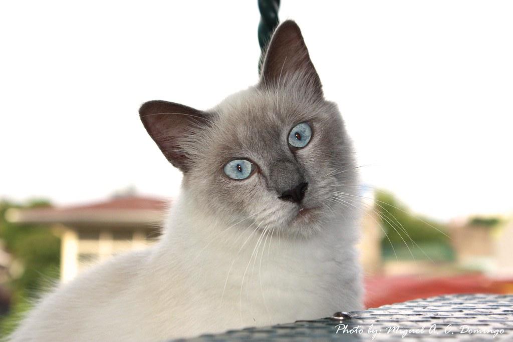 male birman cat