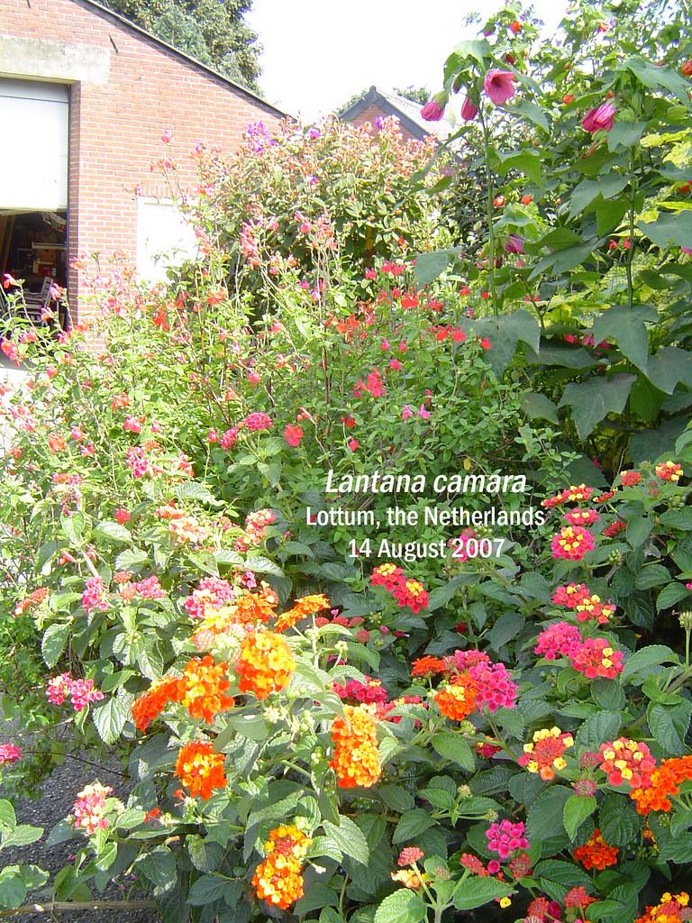 Lantana camara - Lottum, NL, 14 Aug 2007 Glynis