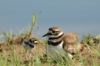 Killdeer And Chic | by rdodson76