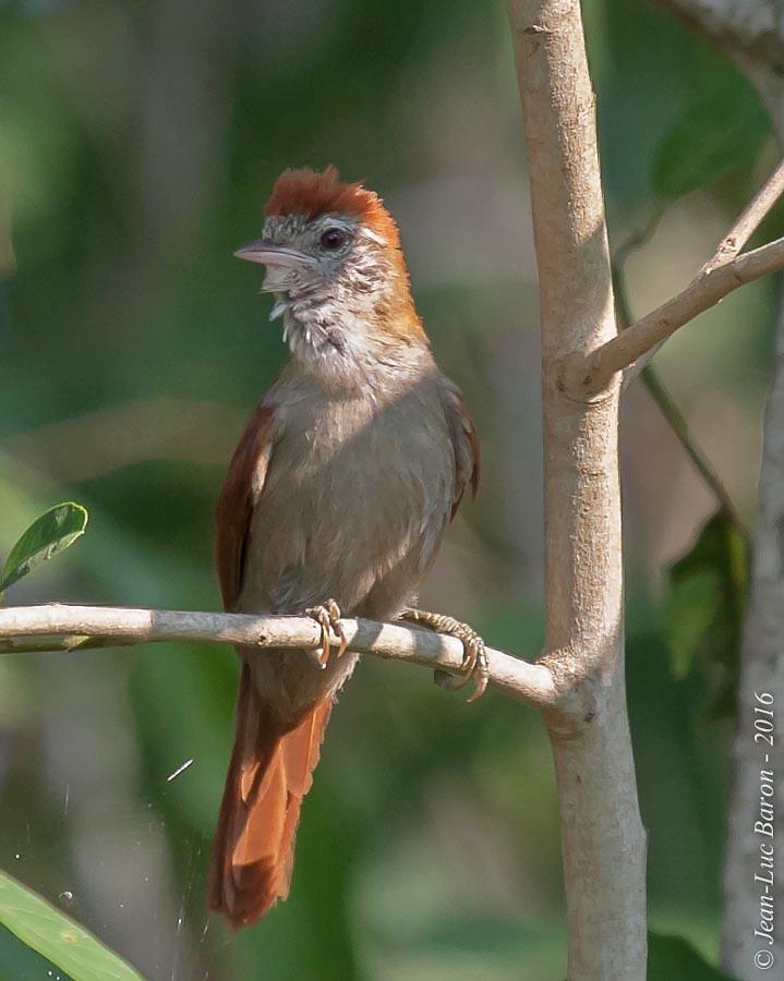 Rusty-backed Spinetail (Cranioleuca vulpina)