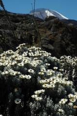 De witte bloemen