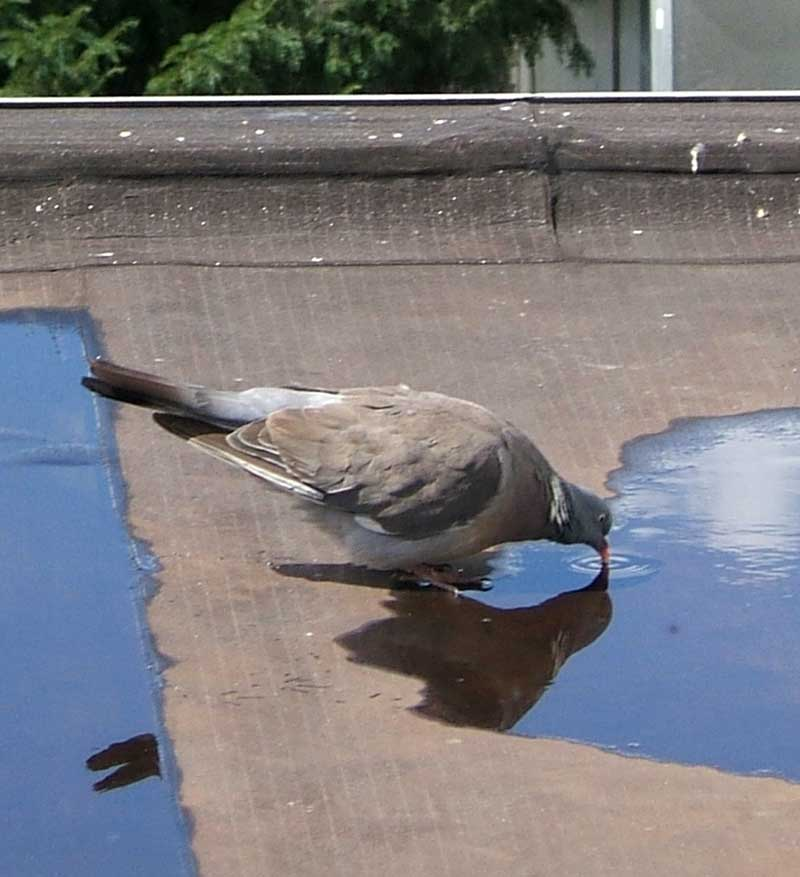 drinking pigeon
