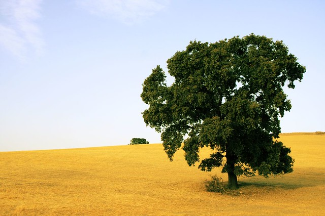 Encina / holm-oak