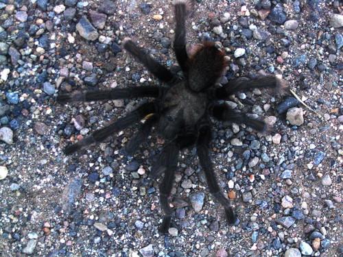 Chelicerata: Arachnida: Araneae: Theraphosidae
