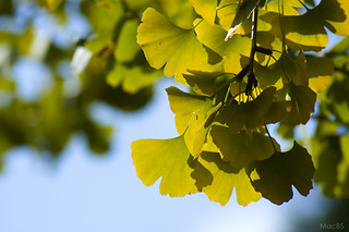 Leaf of ginkgo | by macbs