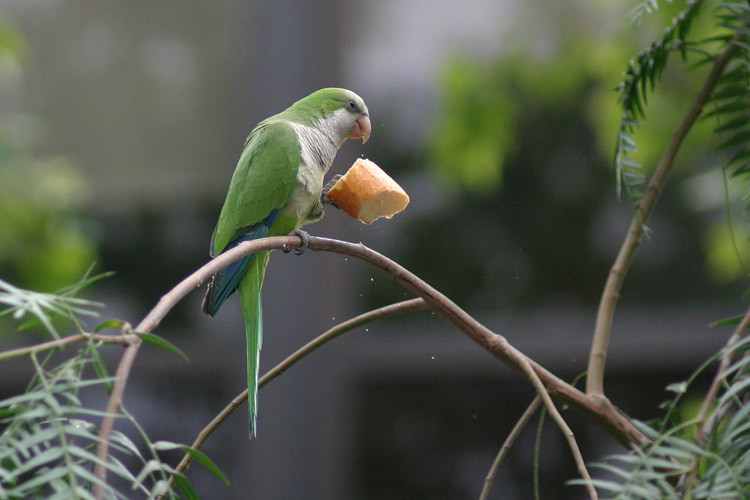 A parrot in Barcelona