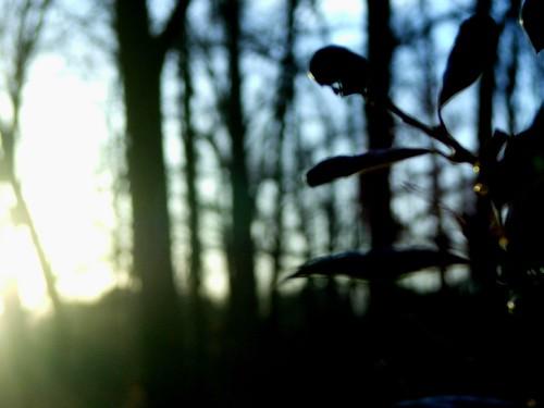 blue sunset holly hollybush