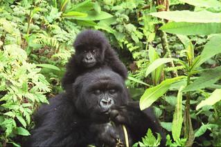 KromerGorillas - 20050804 - Gorilla Mother and Babies - Sarel Kr | by mrflip