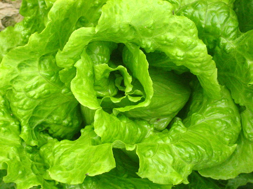 Lettuce in an organic farm (HK)